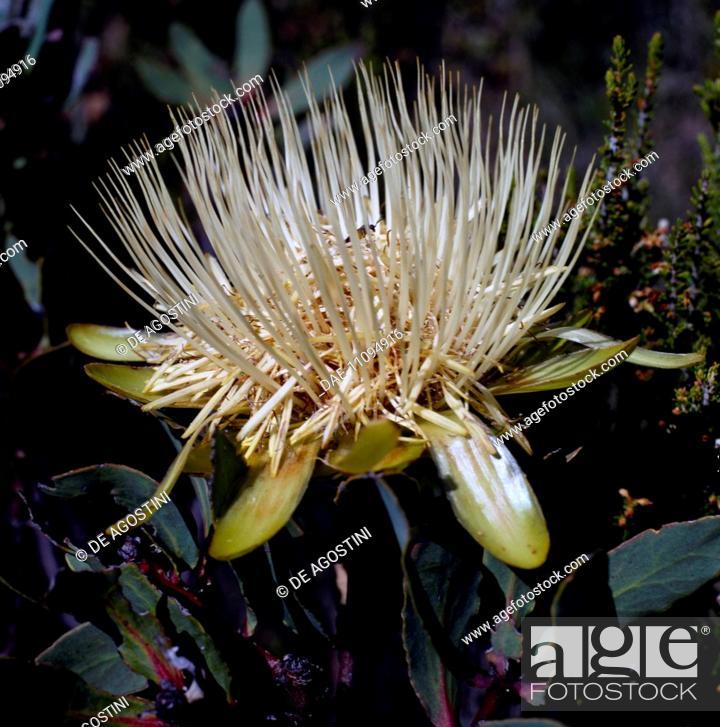 Stock Photo: Plant of the Protea genus, Kilimanjaro National Park (UNESCO World Heritage List, 1987), Tanzania.