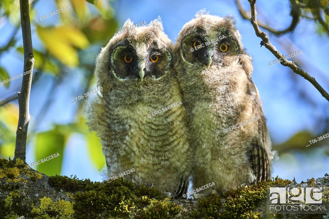 Stock Photo: Two Long-eared owl chick (Asio otus) perched in tree. Alsace. France.