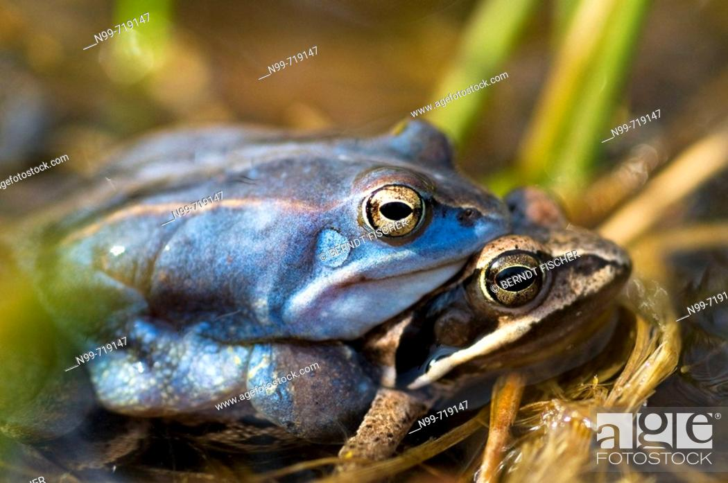 Stock Photo: Moor frog (Rana arvalis), mating, blue-coloured male, water pond in Franconia, Bavaria.