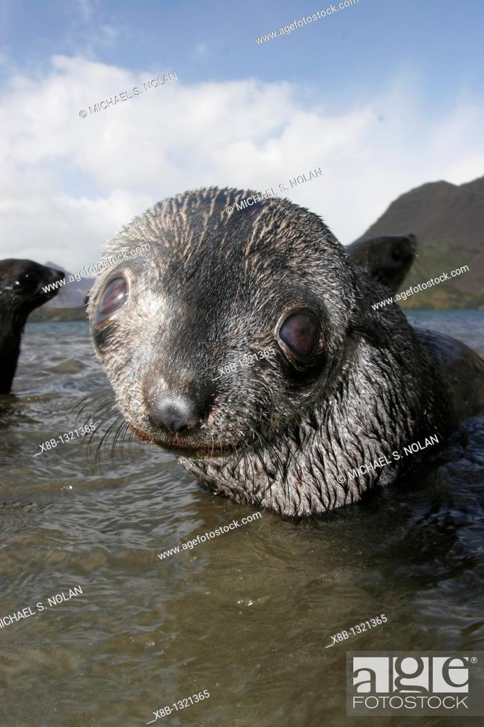 Stock Photo: Curious young Antarctic Fur Seal Arctocephalus gazella close-up on the island of South Georgia, southern Atlantic Ocean.