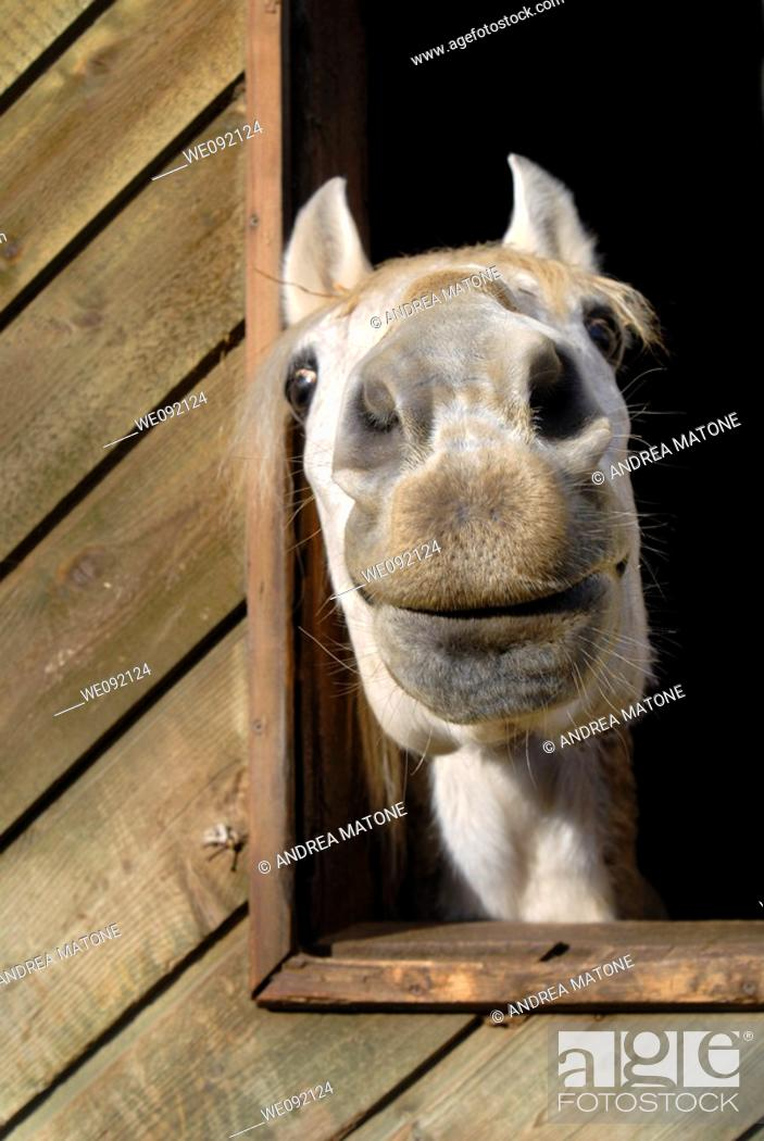 Stock Photo: A funny looking white horse snout close up.