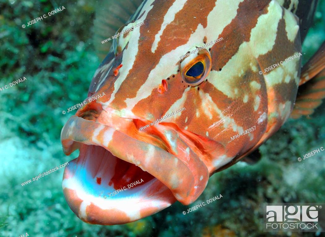 Stock Photo: Nassau grouper at cleaning station, Roatan, Bay Islands, Honduras.