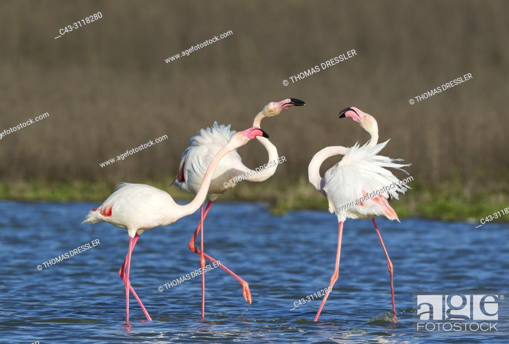 Stock Photo: Greater Flamingo (Phoenicopterus roseus). A pair on the left quarrels with a solitary male. At the Laguna de Fuente de Piedra near the town of Antequera.