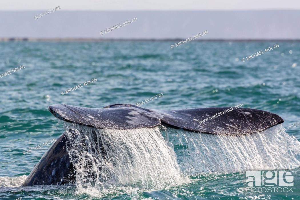 Stock Photo: Adult California gray whale (Eschritius robustus) flukes-up dive in San Ignacio Lagoon, Baja California Sur, Mexico, North America.