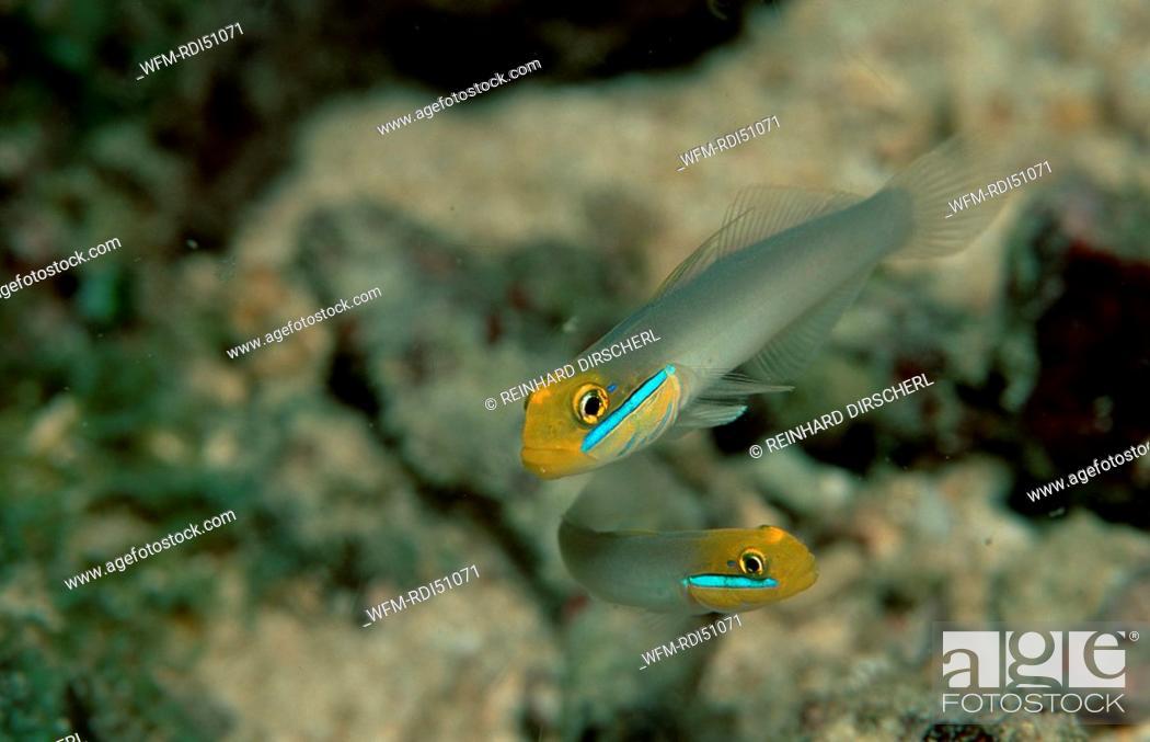 Stock Photo: Bluestreak goby, Valenciennea strigata, Pacific ocean, Papua New Guinea.