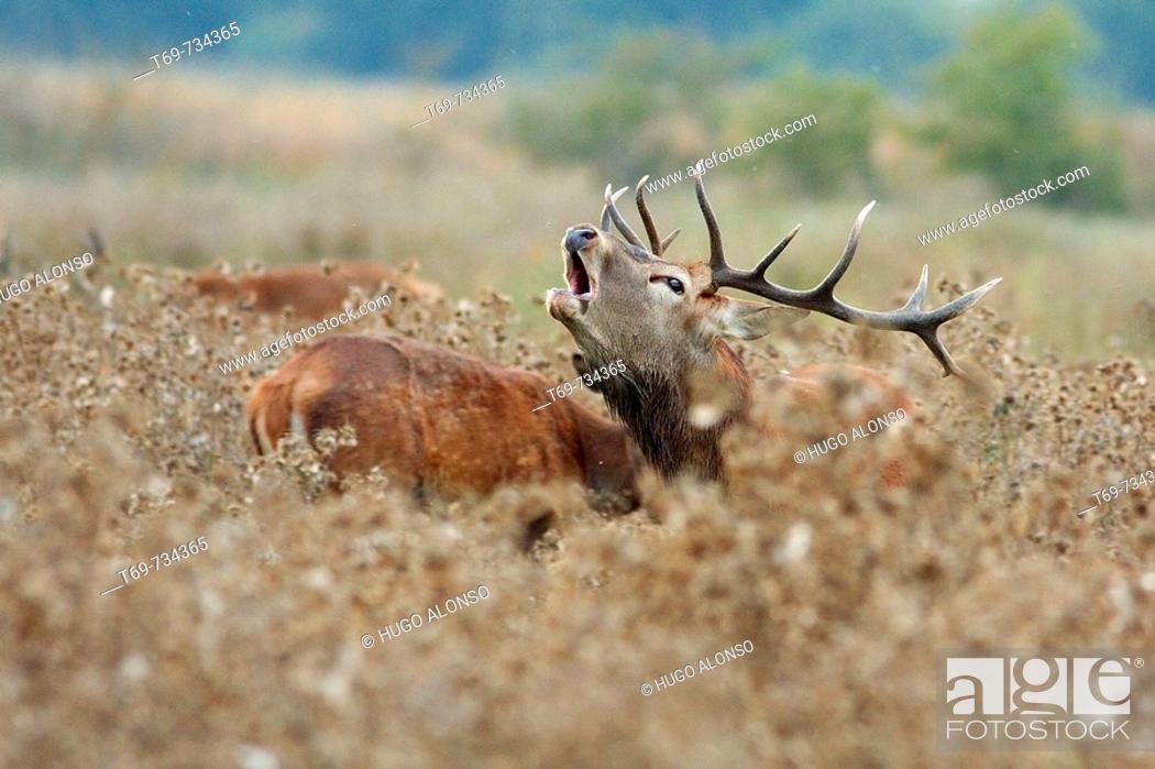 Stock Photo: The red deer rut (Cervus elaphus). Spain.