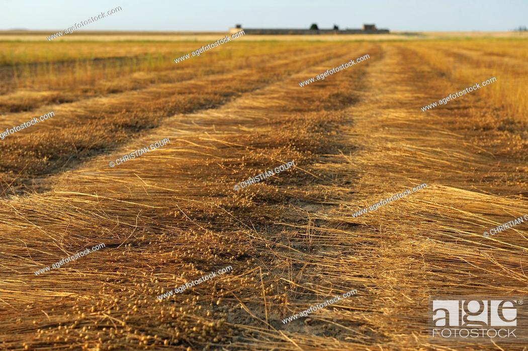 Imagen: harvested flax stalks windrowed spread for dew retting, Commune of Boutigny-Prouais, Eure-et-Loir department, Centre-Val de Loire region, France, Europe.