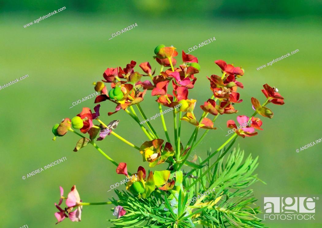 Stock Photo: Euphorbia cyparissias, Cypress Spurge.