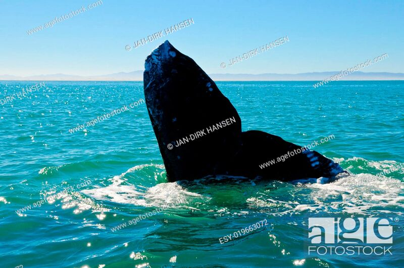 Stock Photo: Grauwal Whale Watching.