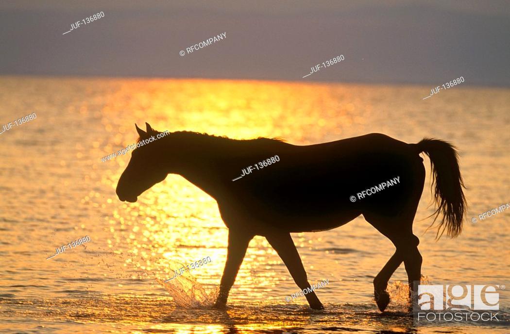 Stock Photo: Austrian warmblood horse in water - sunset.
