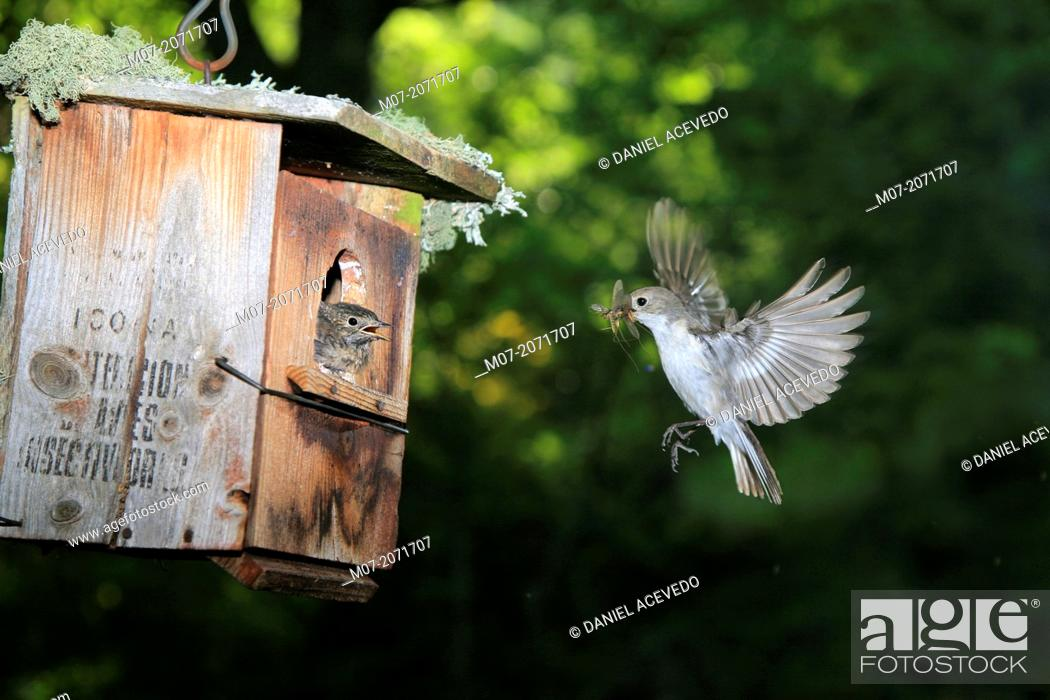 Stock Photo: Pied flycatcher feeding Young at nest, Demanda range mountain, Burgos, Spain, Europe.