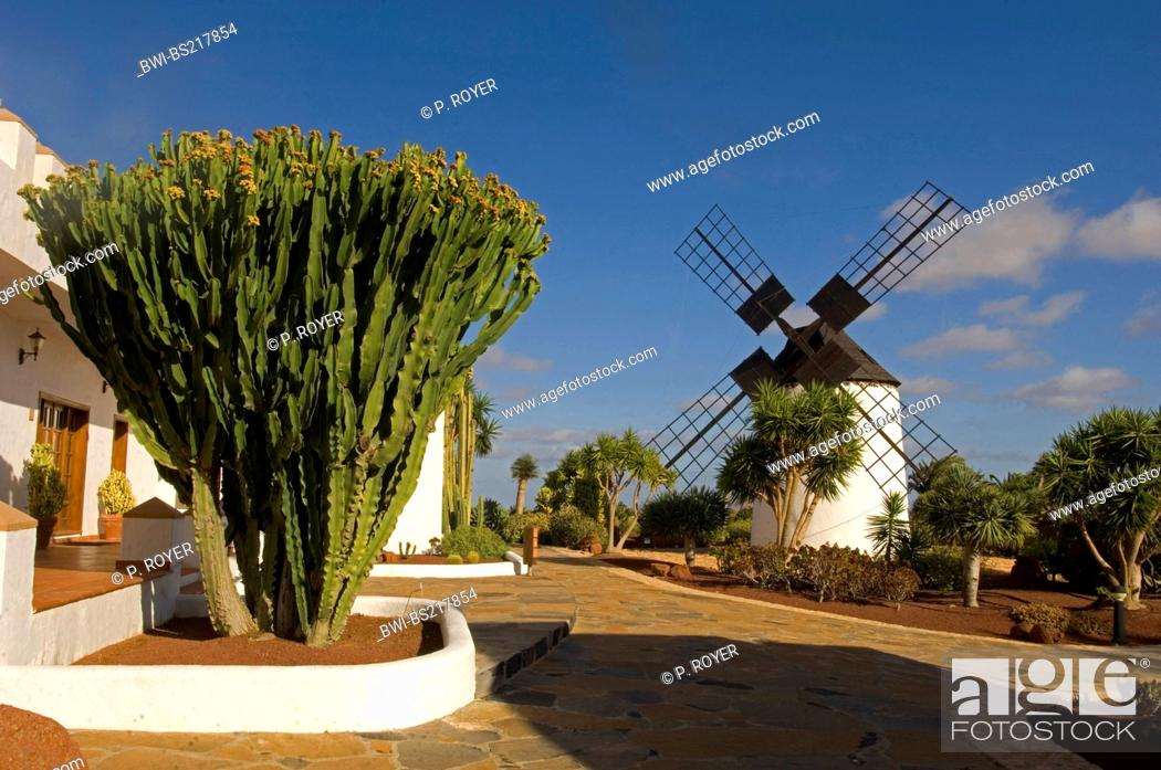 Stock Photo: Canary Island Spurge (Euphorbia canariensis), in front of wind mill, Canary Islands, Fuerteventura.