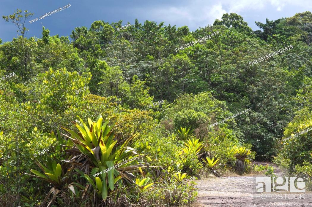 Stock Photo: Giant Tank Bromeliad Brocchinia micrantha growing in tropical forest habitat, Kaieteur N P , Guiana Shield, Guyana, october.