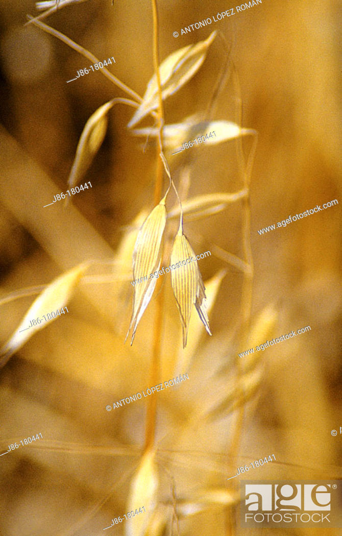 Stock Photo: Wild Oat (Avena sterilis).