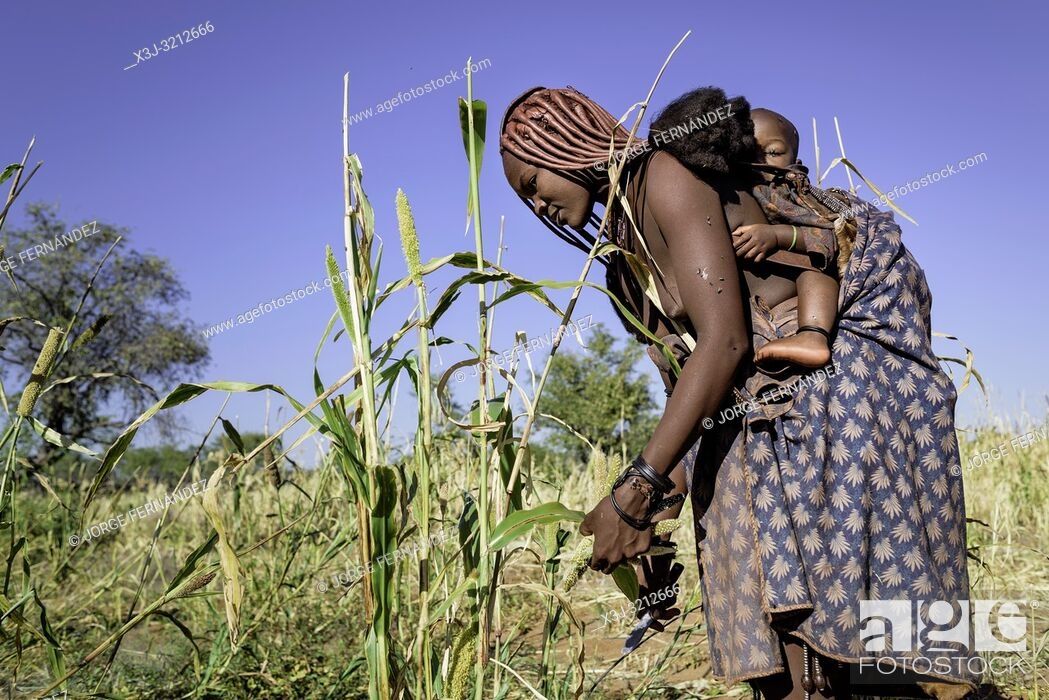 Stock Photo: Himba woman harvesting millet with her child on her back.