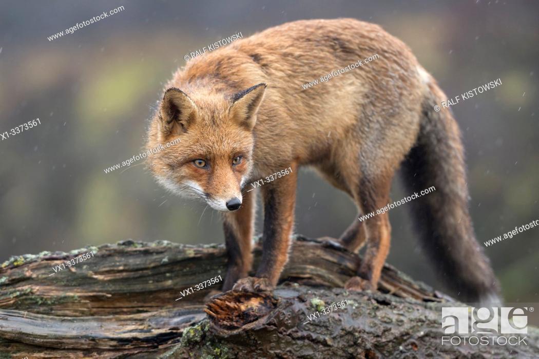 Stock Photo: Red Fox / Rotfuchs ( Vulpes vulpes ) adult, climbing, standing on a fallen tree trunk, peering, tensed, cunning, wildlife, Europe.