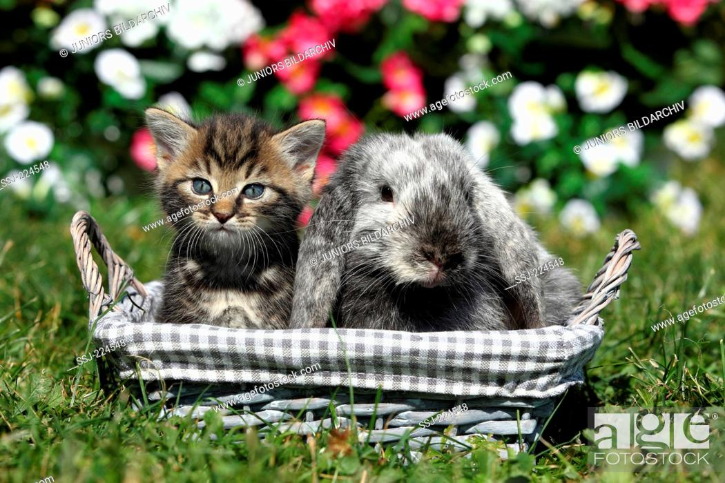 Stock Photo: Domestic cat and Dwarf Rabbit. Kitten (6 weeks old) and Mini Lop sitting in a basket in a garden. Germany.