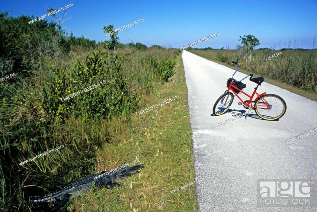 Stock Photo: American Alligator Alligator mississippiensis adult, basking near bicycle path, Shark Slough, Everglades N P , Florida, U S A.