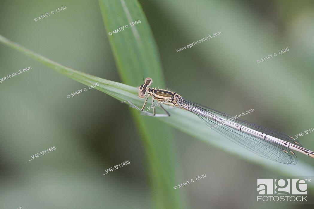 Stock Photo: Female White-legged Damselfly, Platycnemis pennipes, Blue Featherleg, a distinct damselfly with white legs/ Length is 32mm.