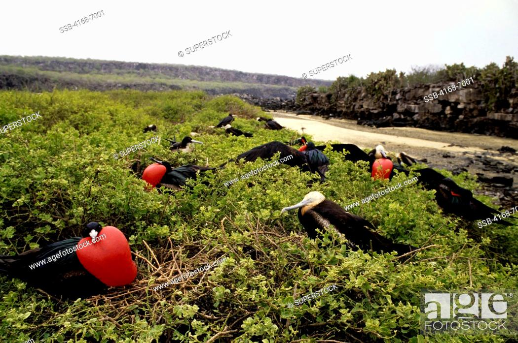 Stock Photo: ECUADOR,GALAPAGOS ISLANDS, TOWER ISLAND, FRIGATE BIRD COLONY, MALES, DISPLAYING.