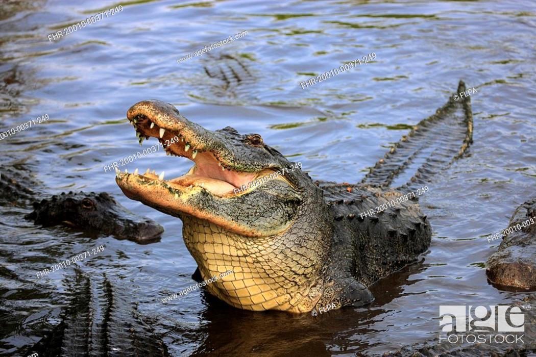 Stock Photo: American Alligator Alligator mississipiensis adult, feeding, head raised out of water, Florida, U S A.