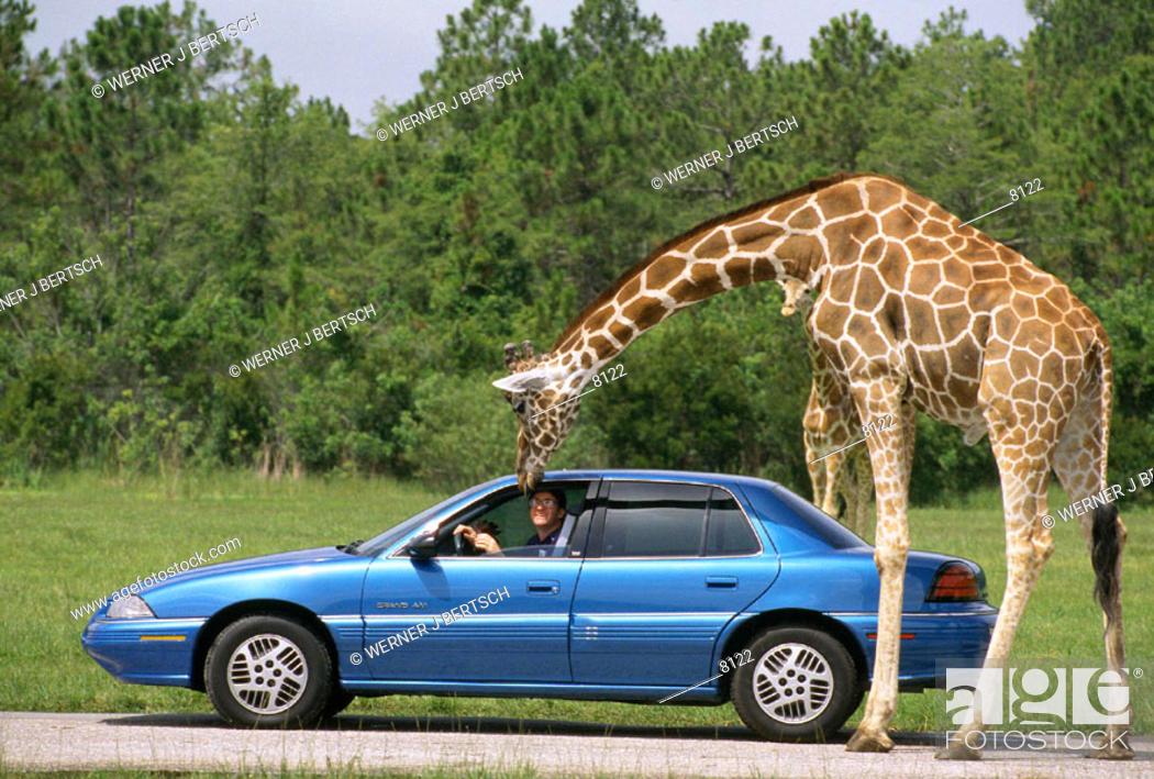 Stock Photo Lion Country Safari West Palm Beach Florida Usa