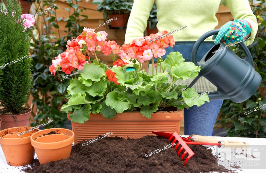 Stock Photo: Transplanting flowers, watering plants, geraniums, garden centre. Gabiria, Gipuzkoa, Euskadi, Spain.