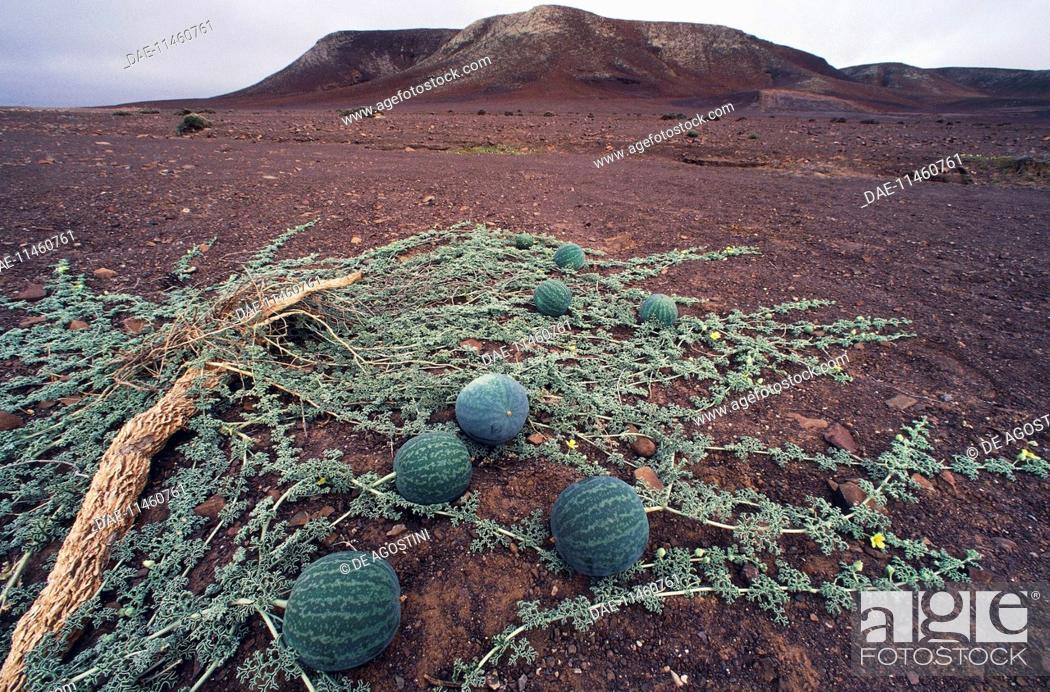 Stock Photo: Namib Tsamma (Citrullus ecirrhosus), Cucurbitaceae, Namibia.