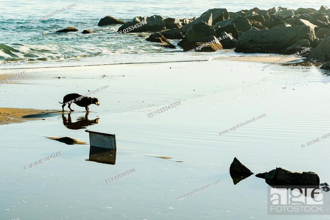 Stock Photo: Dog browsing a beach in Barcelona Coast.