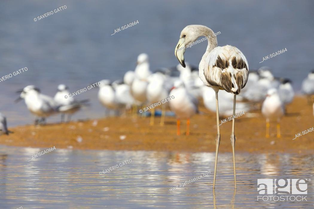 Stock Photo: Greater Flamingo (Phoenicopterus roseus), Juvenile standing in the water, Qurayyat, Muscat Governorate, Oman.