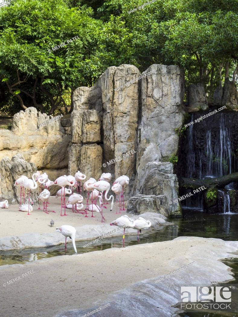 Stock Photo: Greater flamingos (Phoenicopterus roseus) in the natural animal park, Bioparc Valencia, Spain. The Greater flamingos share a multispecie enclosure designed to.
