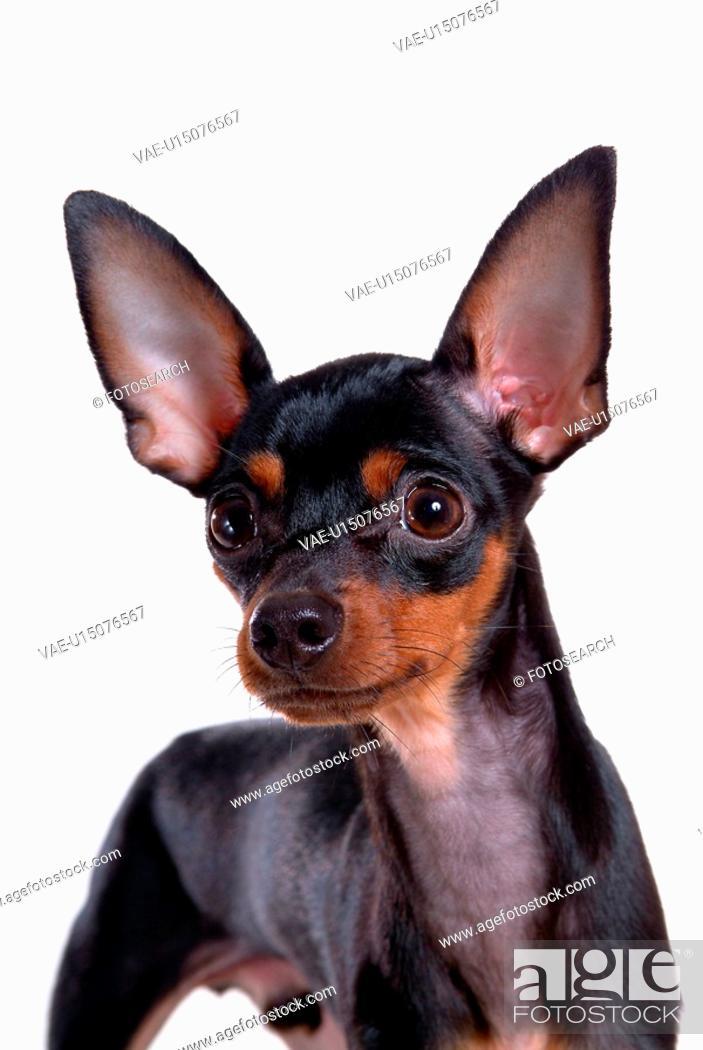 Stock Photo: pose, domestic, companion, house pet, canines, miniature pinscher.