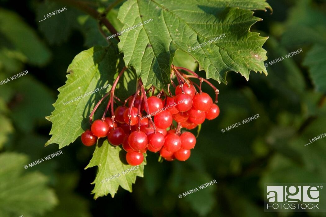 Stock Photo: Guelder rose with berries in autumn. Viburnum opulus. Schleswig-Holstein. Germany.