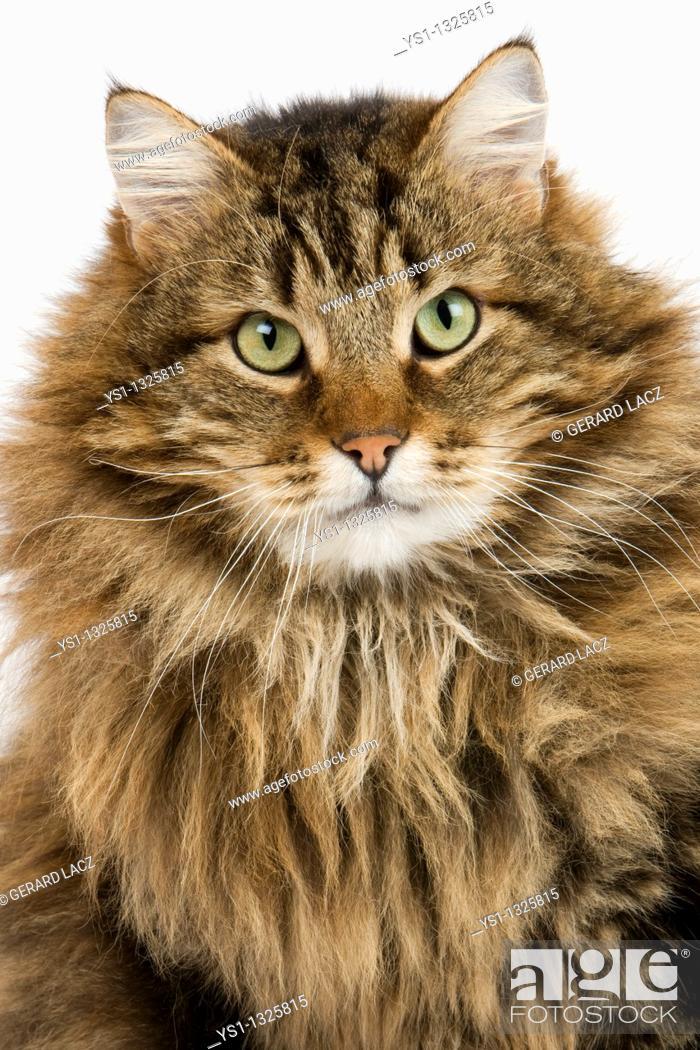 Imagen: ANGORA DOMESTIC CAT, MALE AGAINST WHITE BACKGROUND.