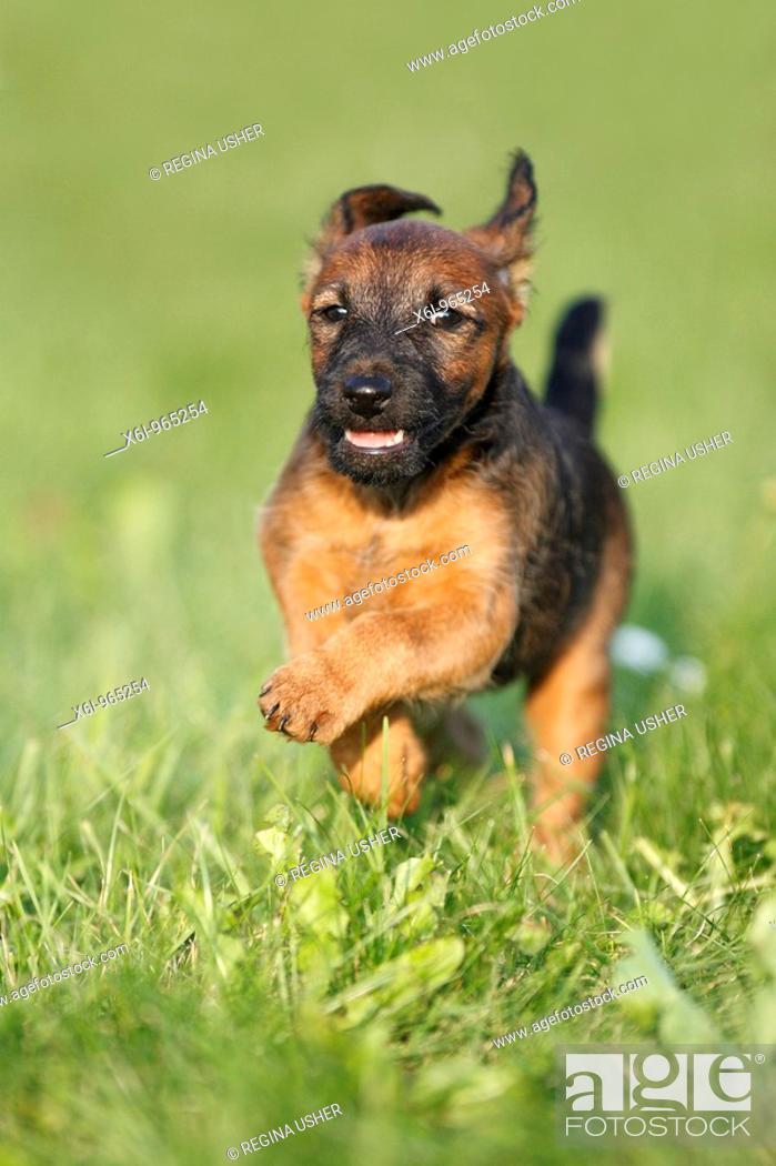 Stock Photo: Westfalia / Westfalen Terrier, puppy running across garden lawn, Germany.