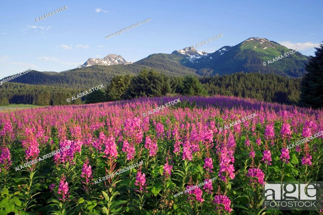 Stock Photo: Couple hiking among Fireweed Admiralty Is Tongass National Forest Southeast Alaska Summer.