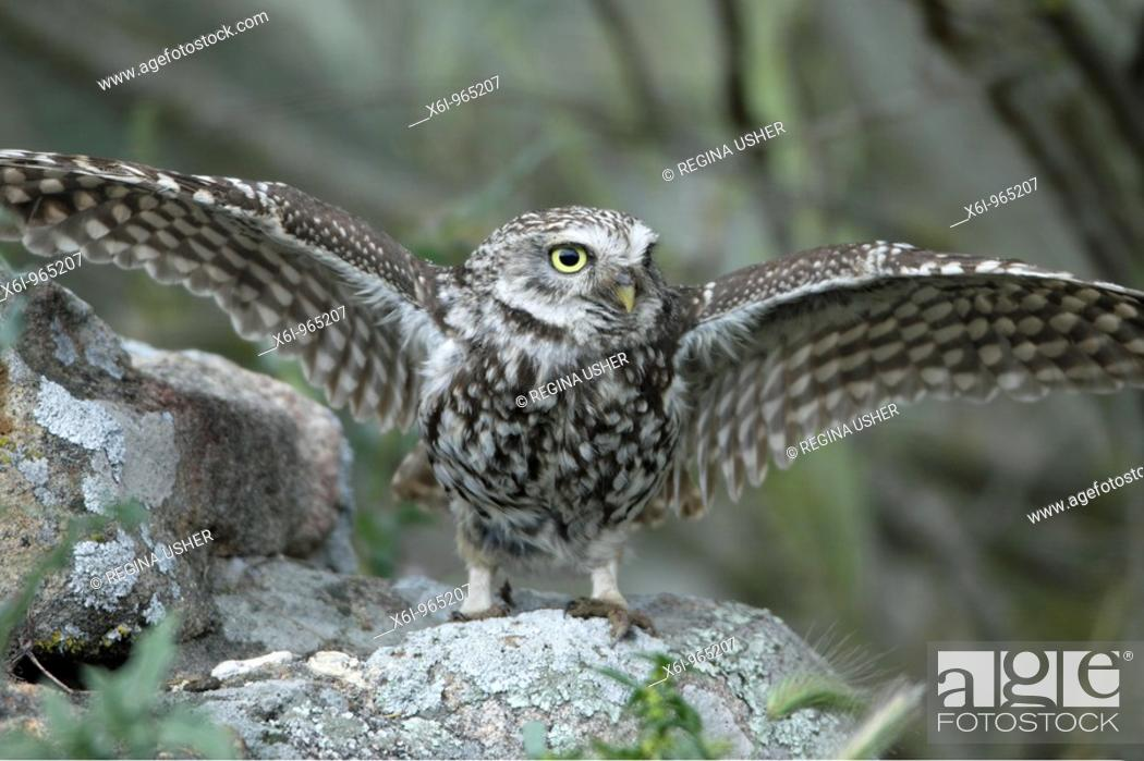 Stock Photo: Little Owl Athena noctua, spreading wings in rain, Alentejo, Portugal.