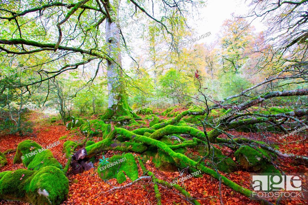 Stock Photo: Autumn Selva de Irati fall beech jungle in Navarra Pyrenees of Spain.