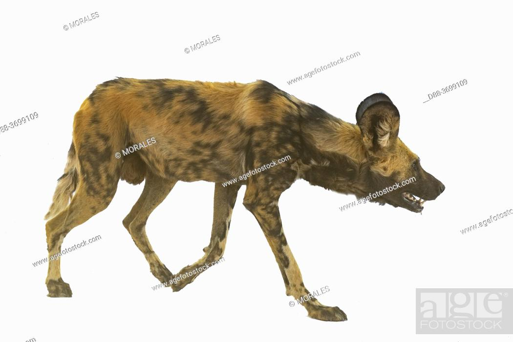 Photo de stock: Africa, Namibia, Private reserve, African wild dog or African hunting dog or African painted dog (Lycaon pictus), adult, captive.