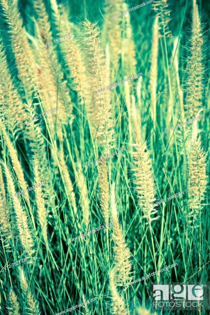 Stock Photo: common reed Phragmites communis, Cat-tail.