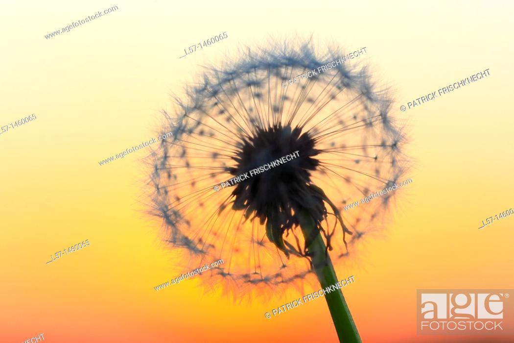 Stock Photo: Dandelion, Taraxacum officinale, Switzerland.