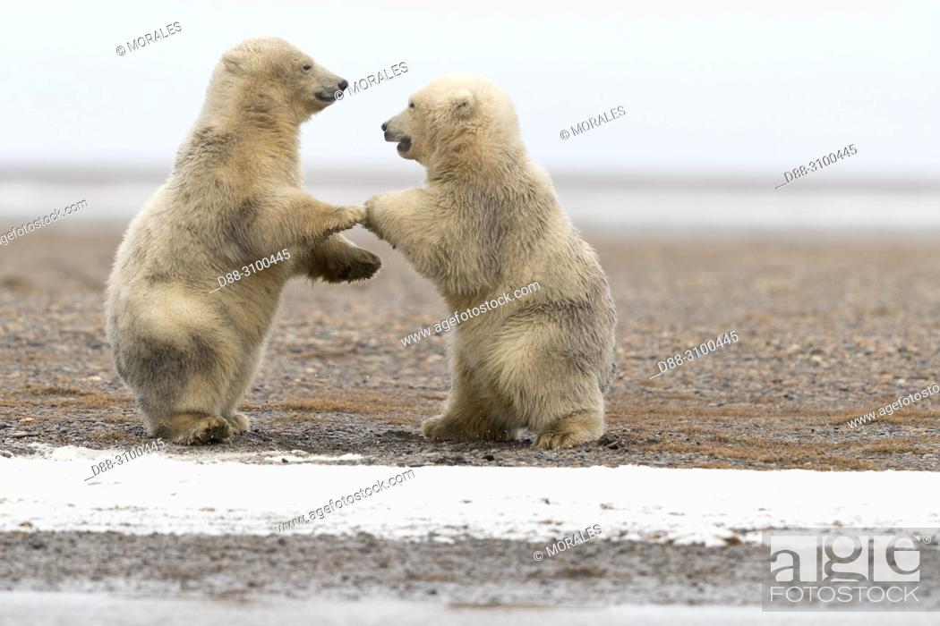 Stock Photo: United States, Alaska, Arctic National Wildlife Refuge, Kaktovik, Polar Bear( Ursus maritimus ), babies playing along a barrier island outside Kaktovik, Alaska.