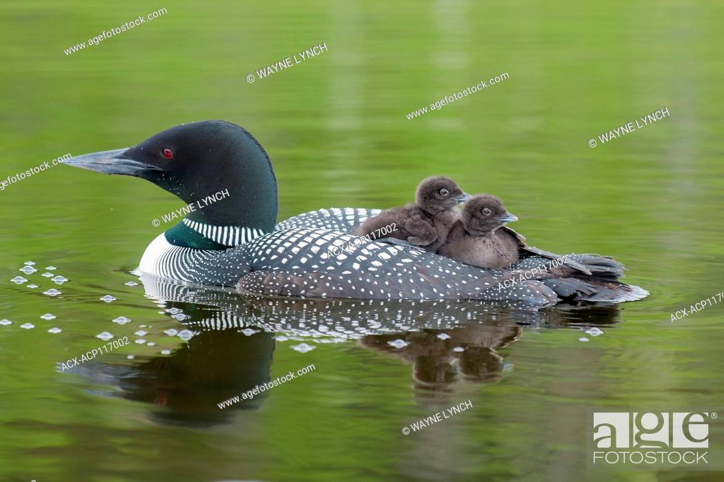 Stock Photo: Adult common loon (Gavia immer) and chicks back-riding as they do for the first two weeks after hatching, central Alberta, Canada.