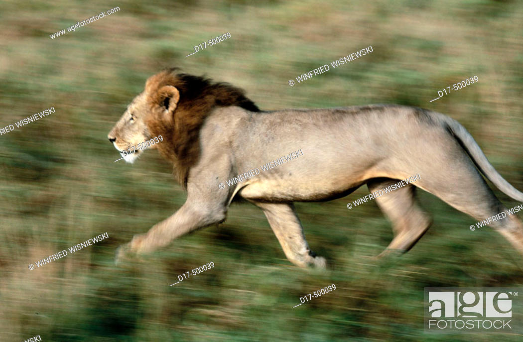 Stock Photo: Male Lion running(Panthera Leo). Masai Mara Natural Reserve. Kenya.