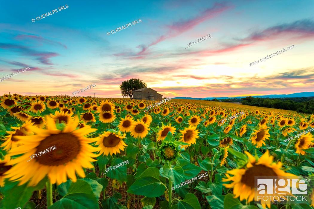 Stock Photo: Valensole Plateau, Provence, France. Field full of sunflowers at sunset, lonely farmhouse.