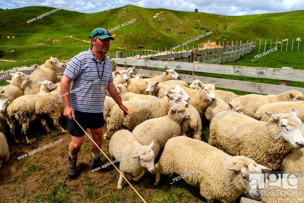 Stock Photo: Sheep In A Pen Waiting To Be Counted and Weighed, Sheep Farm, Pukekohe, North Island, New Zealand.