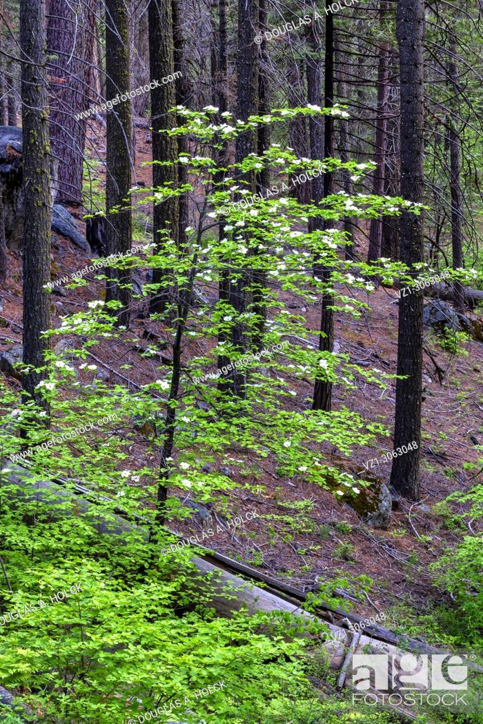 Stock Photo: Dogwood in Burned Forest, Yosemite NP, USA.