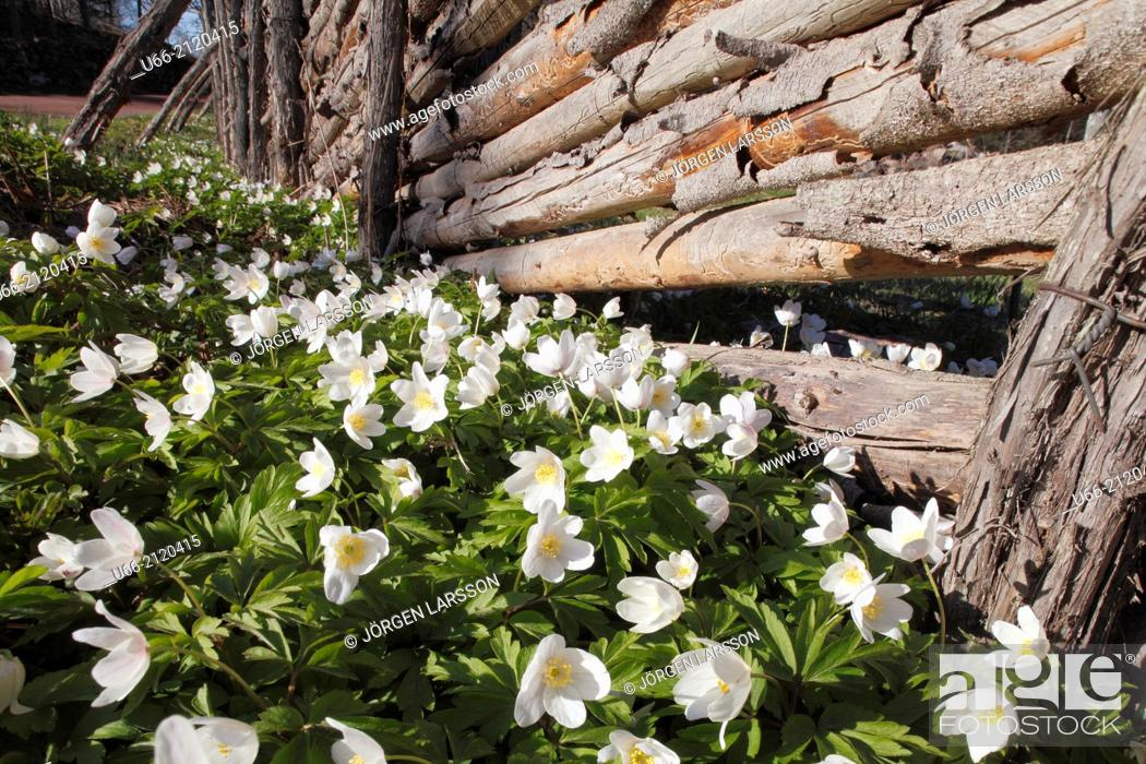 Stock Photo: Wood anemone and fence, Småland, Sweden.