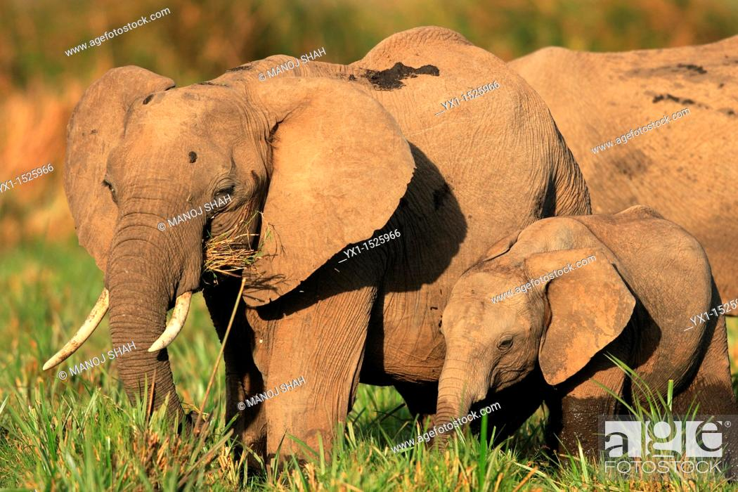 Stock Photo: African Elephants (Loxodonta africana), Masai Mara National Reserve, Kenya.