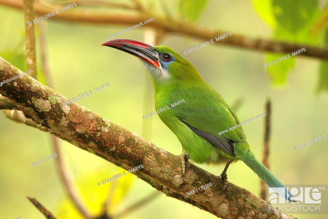 Stock Photo: Groove-billed Toucanet, Tucán Pico de frasco esmeralda, Aulacorhynchus sulcatus sulcatus, Parque Nacional Henri Pittier, Venezuela.